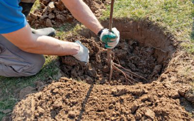 How to Plant a Bare Rooted Tree