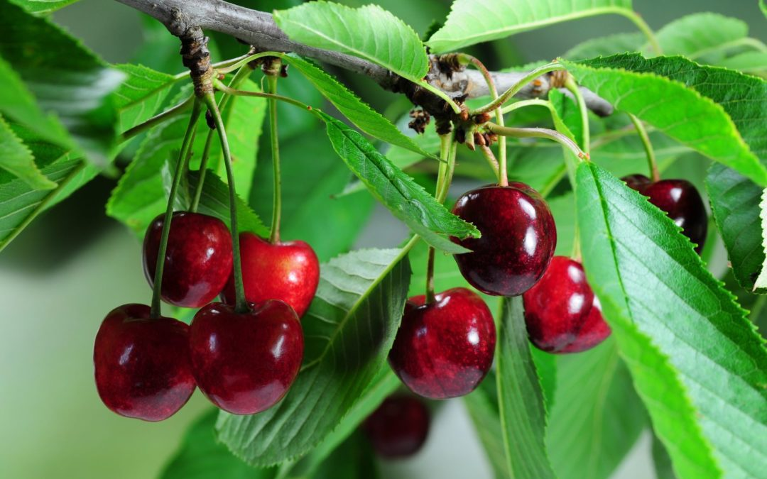 All About Cherry Trees