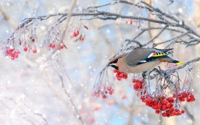 Planting Trees and Shrubs for Winter Birds