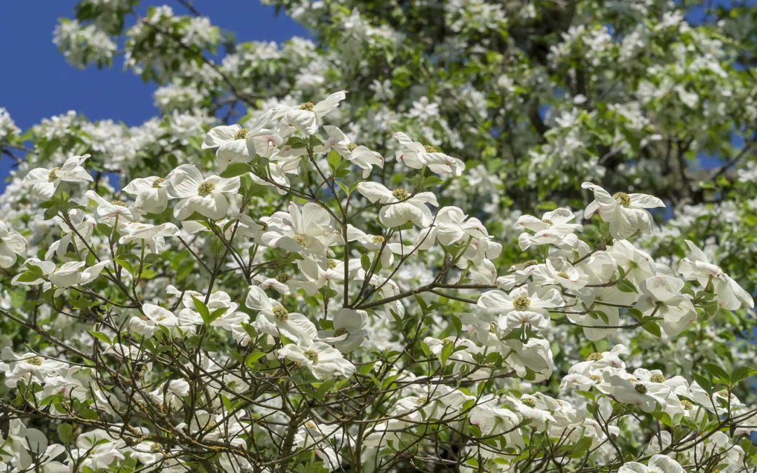 featuredImage-flowering-dogwood