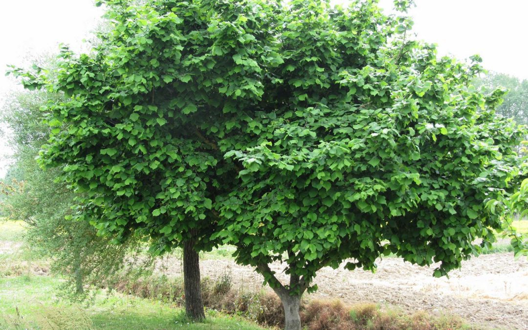 featuredimage-Nut-Trees-for-Urban-Environments