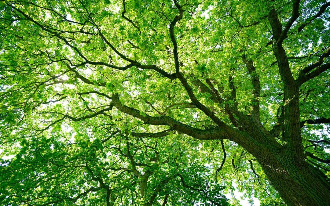 featuredimage-oakTrees