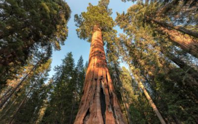 What is the largest tree in the world?