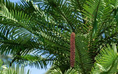 Ancient Tree Species