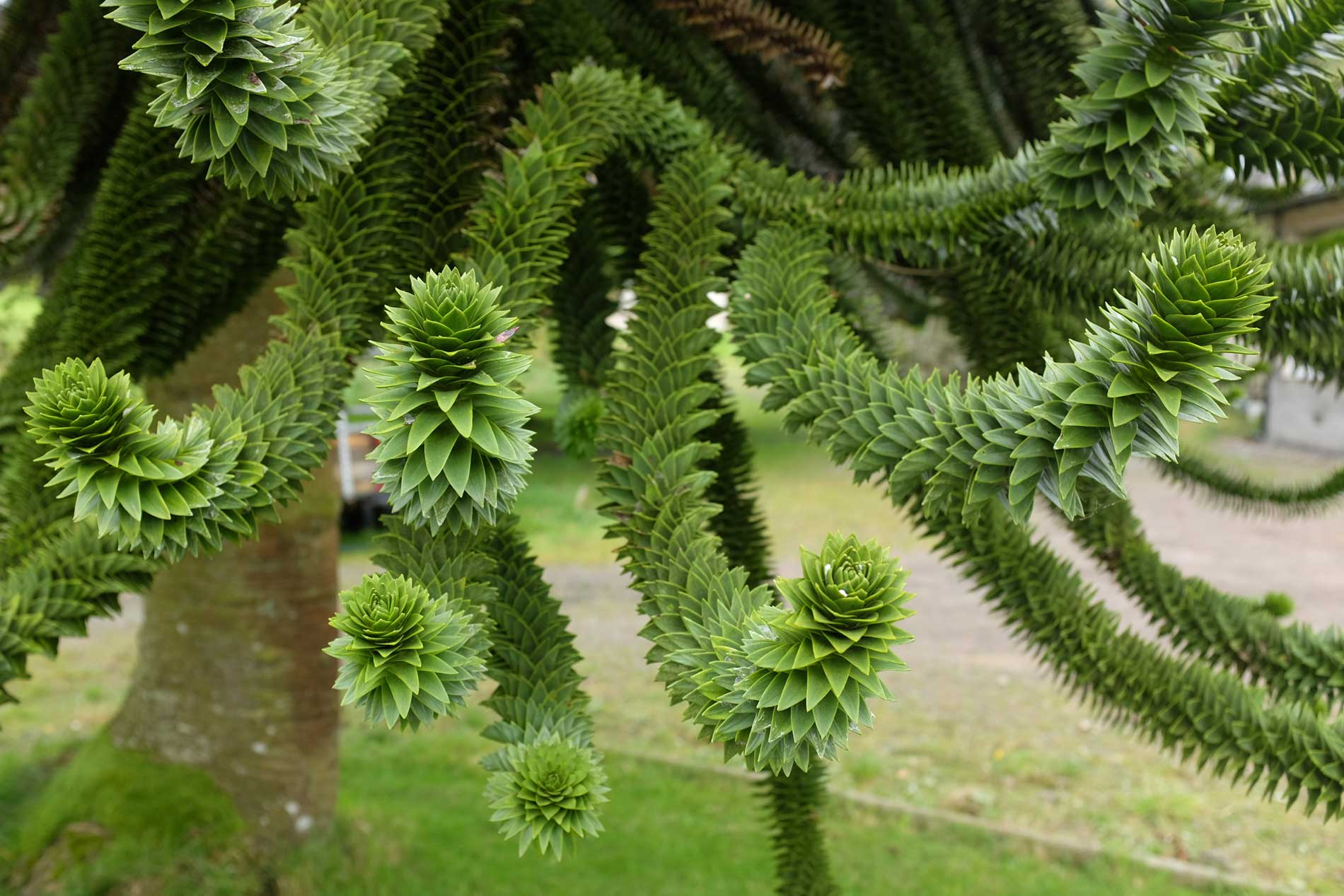 image-3-Monkey-Puzzle-Tree-v2