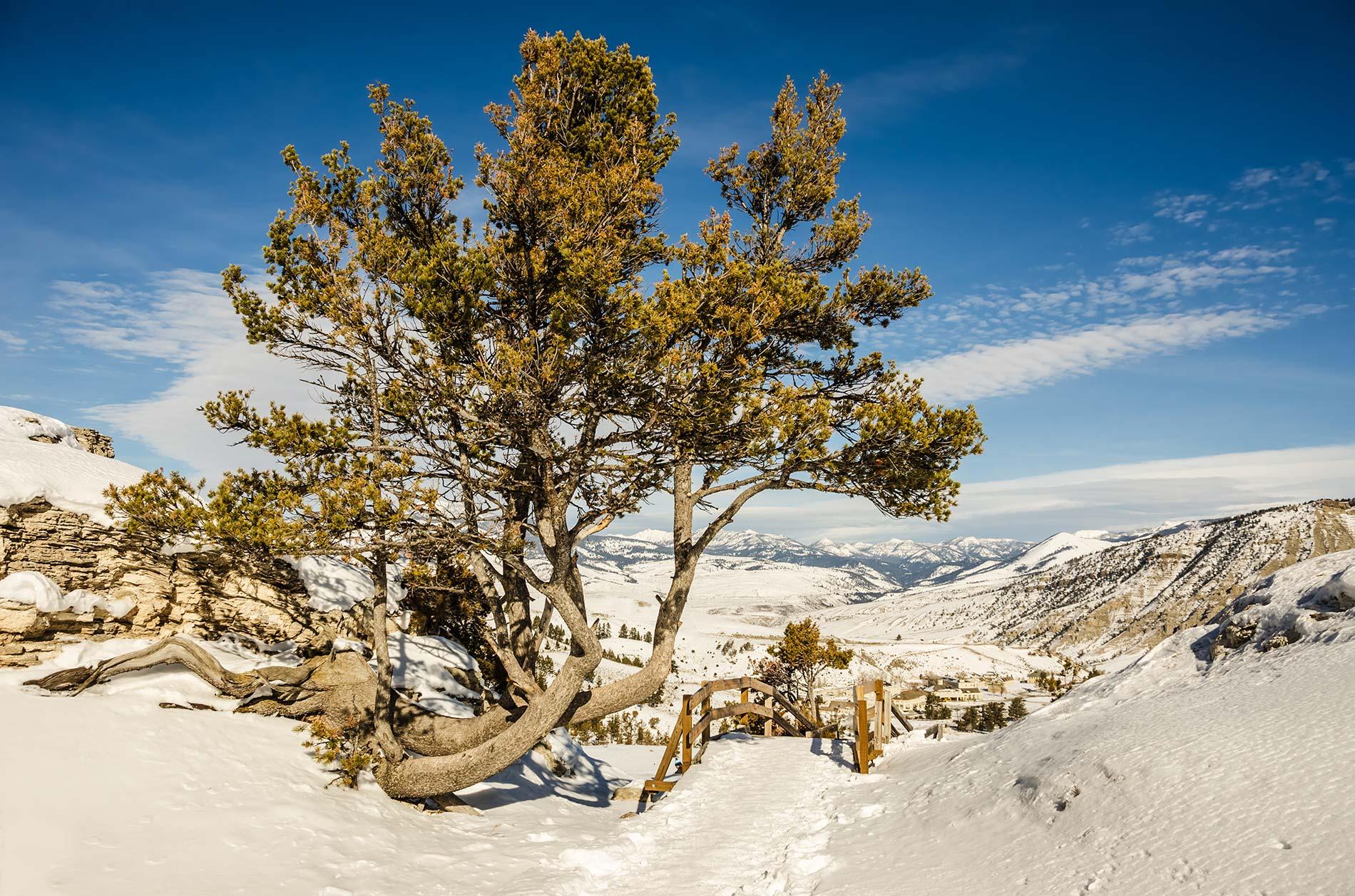 white-pine-v2