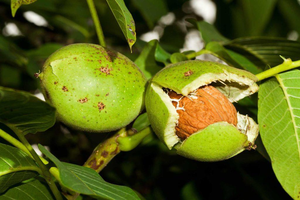 popular-chestnut,-hazel-nut,-or-hard-shelled