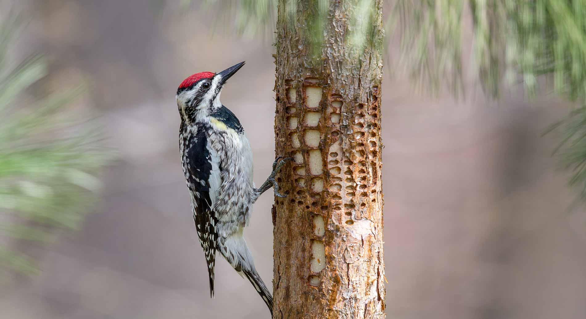 sapsucker-and-a-woodpecker