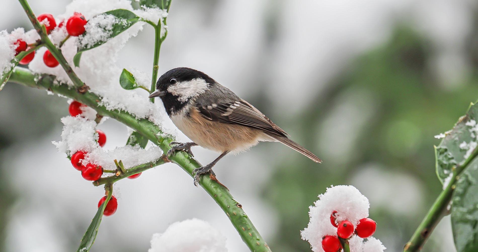 shrubs-for-birds